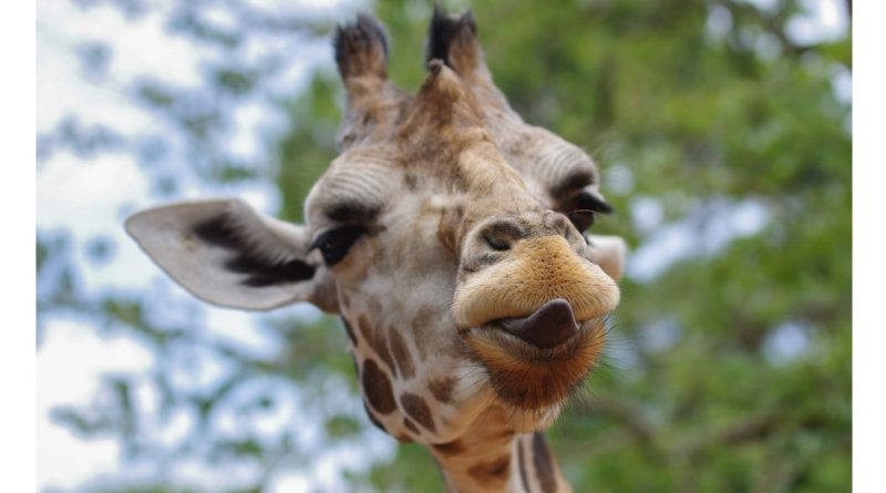 April the Giraffe has more in common with high-stakes testing than we may think.